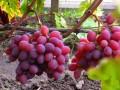 Виноград «Память Хирурга»