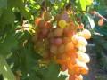 Виноград «Румба»