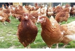 Комбикорм полнорационный ПК-1-15 для кур яичных кроссов свыше 40 до 60 недель