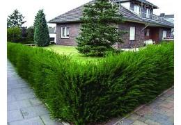 Живая изгородь на Вашем участке