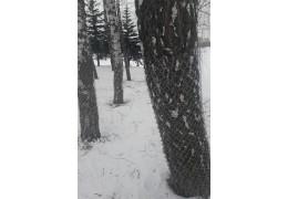 В Заводском районе спасают деревья от бобров