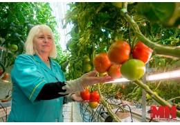 На Минской овощной фабрике созрели томаты нового поколения