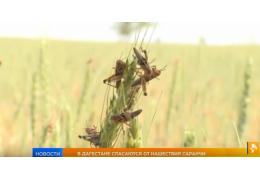 В Дагестане спасаются от нашествия саранчи