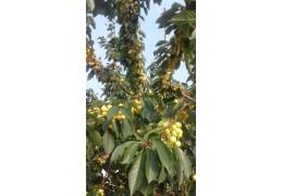 Черешня крупноплодная желтая с личного участка