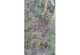 """Продам томаты открытого грунта """"Де Барао"""" с личного участка"""
