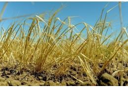 Сельхозпредприятиям Минска осталось убрать зерновые с 2 % площадей