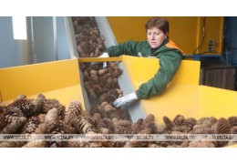 Лесхозы Беларуси заготовят в этом сезоне более 670 т шишек
