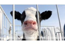 Бригадиры МТФ в Малоритском районе скрывали падеж скота