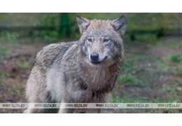 В Столбцах волк напал на людей, пострадали четыре человека