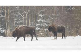 Трех уроженцев Брестской об-ти будут судить за незаконную охоту и разделку зубра