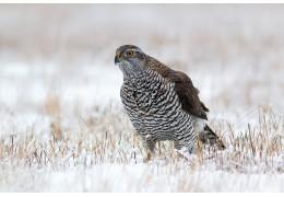 Какие хищные птицы зимуют в столице