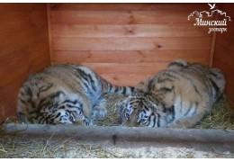 В зоопарке поселились две амурские тигрицы