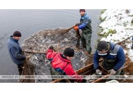Рыбхозы осваивают технологии выращивания американских веслоносов и белуги