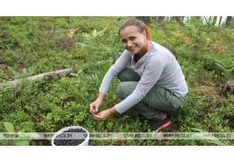 В Беларуси при сборе ягод разрешили использовать комбайны