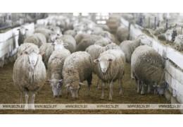 Беларусь ограничивает поставки скота из региона Бельгии