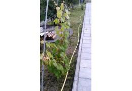 Черенки винограда  со своего участка Крупноплодный синий, среднепоздний сладкий