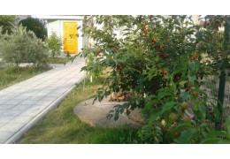 Черенки  вишни, среднепоздняя крупная
