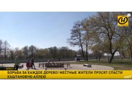 Брестчане просят спасти каштановую аллею в центре города