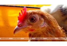 Беларусь ограничивает ввоз птицы из региона Мексики из-за болезни Ньюкасла