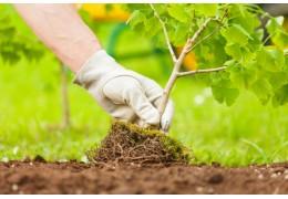 В минских дворах с начала года посадили свыше 31 тысяч деревьев. Им нужна забота