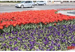 Более 90 тысяч виол уже украшают клумбы и кашпо в Минске