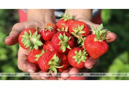 Ранний урожай клубники привел к снижению цен, но ситуация уже стабилизировалась