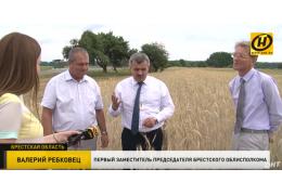Засуха безжалостно вмешивается в планы аграриев Беларуси. Что будет с урожаем?