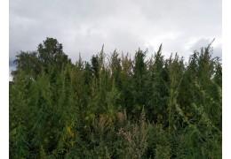 Уничтожено более 500 кг растений конопли - ГИОС УВД
