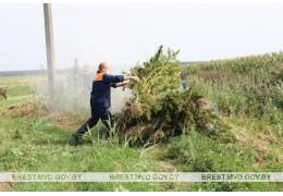 В Брестском районе уничтожено более 200 кг конопли
