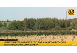 В Беларуси грецкий орех и фундук адаптированы к агропромышленному производству