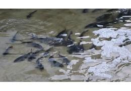 Более 3 т рыбы выпустили в Великоборское водохранилище в Хойникском районе