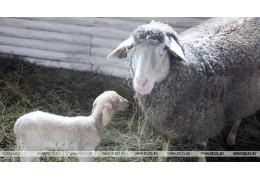 Беларусь и Румыния намерены развивать сотрудничество в сфере овцеводства