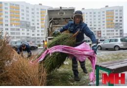 Еще послужат: как в Минске собирают и перерабатывают живые новогодние елки