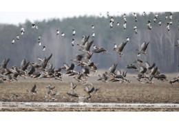 Сезон охоты на гусей и уток открывается в Беларуси