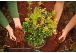 Кустарники на разделительных полосах в Минске начнут высаживать этой весной