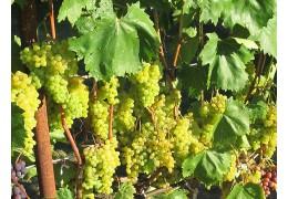 Можно ли в Беларуси вырастить урожай винограда, как во Франции?
