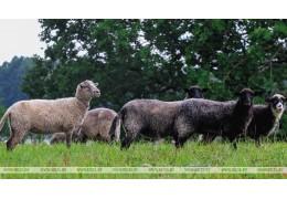 Беларусь ограничивает поставки скота из трех регионов Бельгии