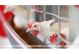 РБ ограничивает ввоз птицы из регионов Польши и Германии из-за птичьего гриппа