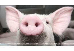 Беларусь ограничивает ввоз свинины из китайской провинции Шэньси из-за АЧС