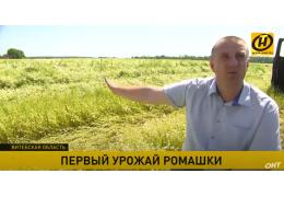 Первый урожай ромашки под Оршей: от поля до уникальной продукции.