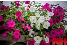 К концу июня территорию Центрального района украсят 800 тыс. летних цветов
