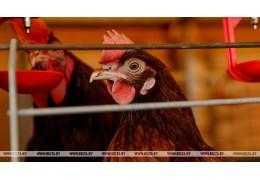 Беларусь ограничивает ввоз птицы из Великобритании из-за птичьего гриппа